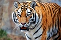 Picture cat, tiger, predator, beast
