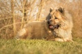 Picture dog, The eurasier, dog