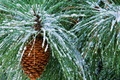 Picture needles, bump, snow, winter