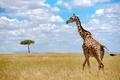 Picture the sky, nature, giraffe