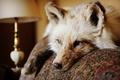 Picture ears. wool, lies, animal, look, Fox, eyes