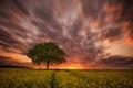 Picture tree, rape, field