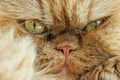 Picture cat, look, muzzle, angry, Persian cat