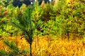 Picture autumn, grass, spruce, branch, September, botolo