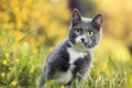 Picture bokeh, flowers, grass, Cat, grey