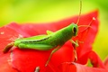 Picture red, Konoha, leaf, eyes, paws, flower, green, animal, exoskeleton, wings, clouse-up, grasshopper, hana, antennae, wildlife, ...