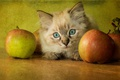 Picture apples, ragdoll, fluffy, face, kitty, treatment, background, table, cat, retro, blue-eyed