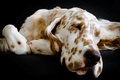 Picture each, dog, English Setter