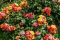 Picture flowers, flowers, the bushes, Nature, roses, colors, roses, summer, summer, nature