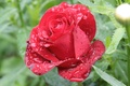 Picture flowers, morning, nature, red, flower, rose, Rosa, drops