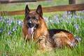 Picture flowers, dog, German shepherd