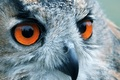 Picture eyes, look, reflection, owl, bird, head