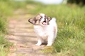 Picture dog, bokeh, The continental toy Spaniel, puppy, Papillon, baby, grass