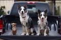 Picture Trinity, Chihuahua, dogs, pickup, body, machine, trio, the border collie