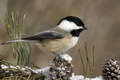 Picture winter, snow, bird, bumps, titmouse