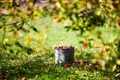 Picture harvest, lawn, summer, the sun, apples, bucket