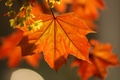 Picture maple, autumn, Macro, leaves