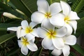 Picture Plumeria, white flowers, exotic flowers, Frangipani