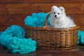 Picture white, decoration, paper, background, blue, basket, Board, portrait, dog, puppy, fabric, wooden, face, sitting, cutie, ...