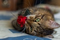 Picture cat, mustache, red, close-up, blur, flower, rose