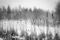 Picture Maine, snow, winter, the reeds, trees, forest