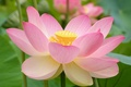 Picture blur, Lotus, petals