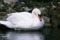 Picture Swan, white, pond, bird