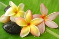 Picture water, drops, flowers, sheet, Rosa, stones, white, white, Flowers, water, stones, drops, leaf, dew, plumeria, ...