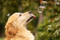 Picture dog, bubbles, summer
