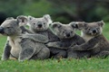 Picture group, Koalas, family, marsupial, Australian