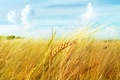 Picture macro, ear, wheat, field, the sky, clouds