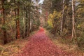 Picture forest, Autumn, trees, leaves, fall, autumn, leaves, path, trail, trees, falling leaves, nature, forest