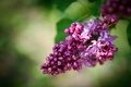 Picture branch, blooms, lilac