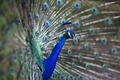 Picture bird, peacock, blue
