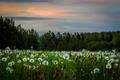 Picture field, nature, dandelions
