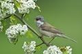 Picture flowers, branch, hawthorn, bird, flowering, Warbler, Gray Warbler