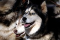 Picture pack, husky, eyes, dogs