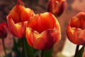 Picture Plants, Spring, Nature, Petals, Buds, Macro, Tulips, Flowers, Leaves