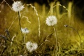 Picture flowers, style, background, dandelions