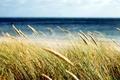 Picture widescreen, blur, HD wallpapers, Wallpaper, sea, wheat, field, rye, full screen, background, fullscreen, macro, widescreen, ...