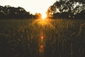 Picture field, the sun, trees, sunset, spikelets
