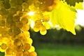 Picture the glare of the sun, bunch, grapes, yellow, leaves