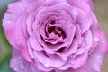 Picture Rosa, macro, rose, drops