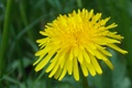 Picture grass, macro, yellow, dandelion, curls