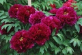 Picture peonies, Bordeaux, Terry