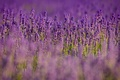 Picture field, flowers, nature, blur, purple, lavender, lilac