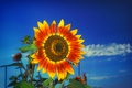 Picture the sky, nature, sunflower, petals
