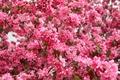 Picture pink, spring, flowering, Flowers, flowering, spring