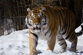 Picture look, The Amur tiger, snow, Moscow zoo