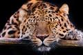 Picture cat, leopard, stay, ©Tambako The Jaguar, face, the Amur leopard, sleeping, sleep